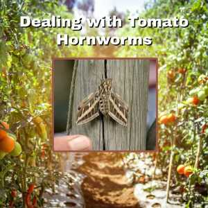 tomatoes with hornworm inset