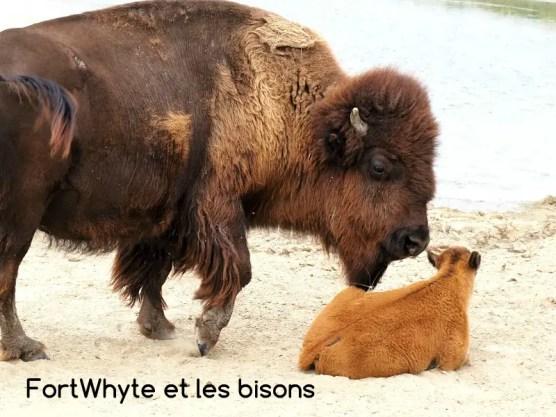 Bisons Fort Whyte