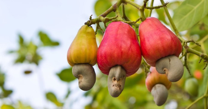 Cashew Nut - The Cholesterol and Fat Busting Super Nut.