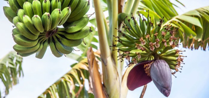 Banana Tree- Nature's Gift For Your Health.
