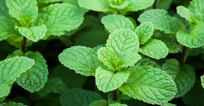 Side Effects Of Peppermint And Who Must Not Consume It