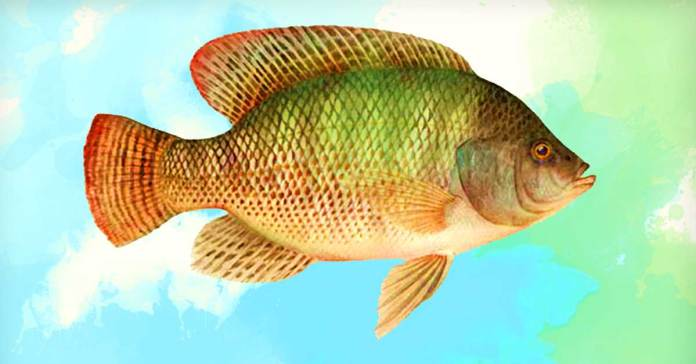 is tilapia good for you