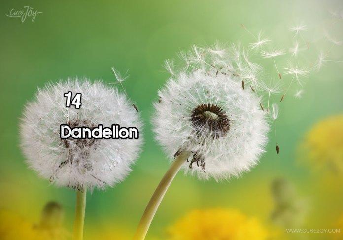 14-dandelion