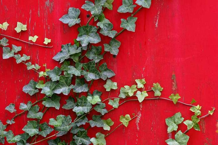 ivy plant for air purification