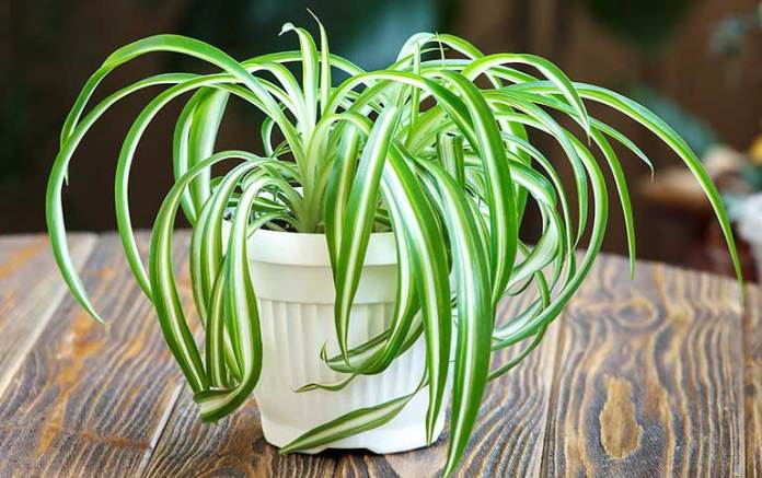 Spider plants to purify indoor air