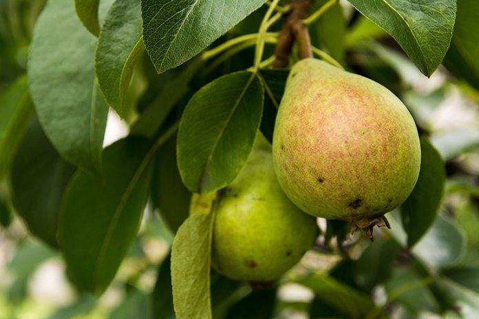 Pear: 9 Best Winter Fruits: Why Should You Eat!