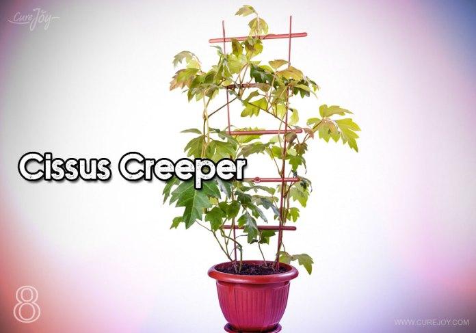 8-cissus-creeper