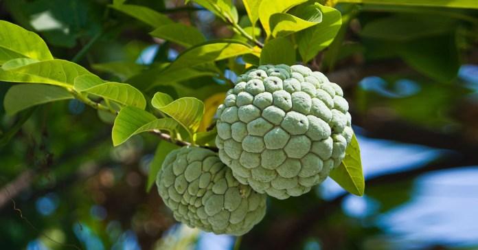 health benefits of custard apple