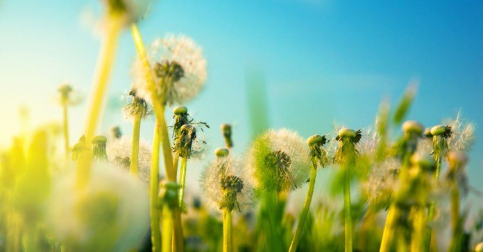 Health Benefits Of Dandelion Roots, Leaves, And Flowers
