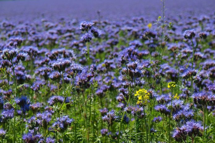 Blue Tansy Calms Down Allergic Reactions