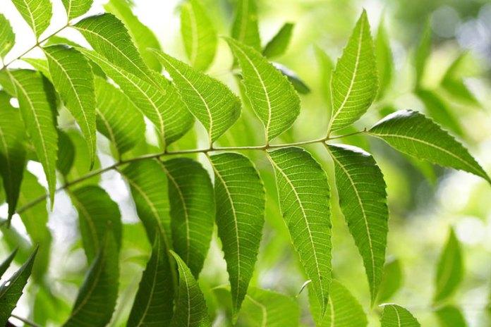 Neem/Margosa Tree Purifies Blood
