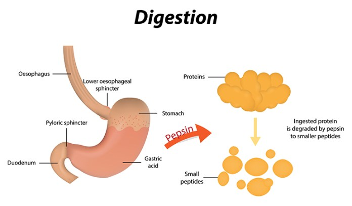 Lotus Root Improves Digestion