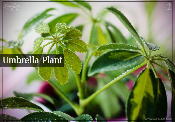 2-umbrella-plant