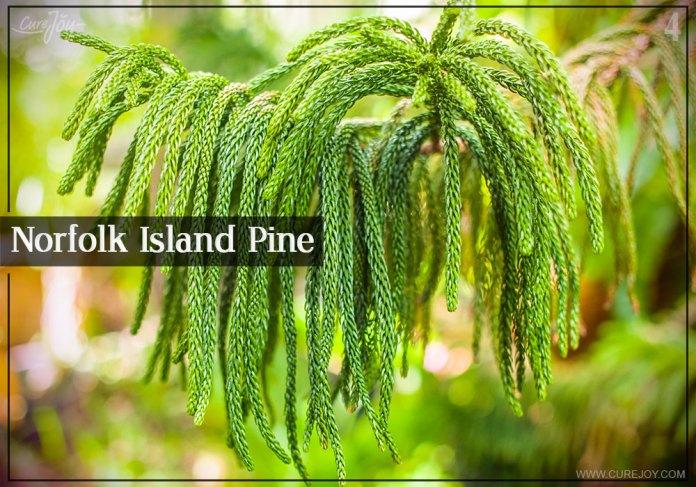 4-norfolk-island-pine