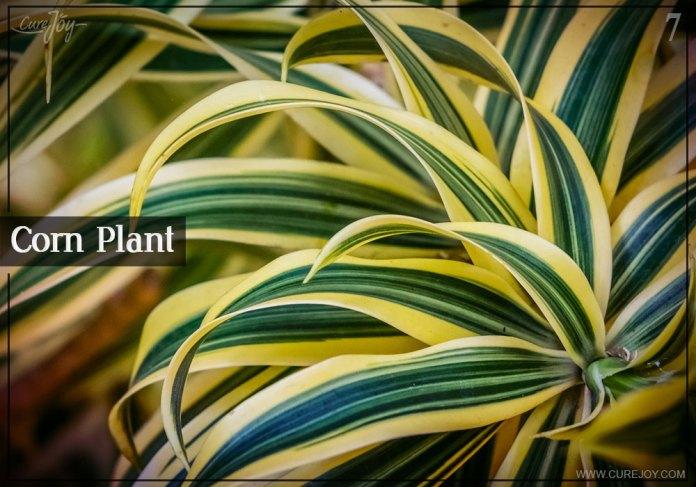 7-corn-plant
