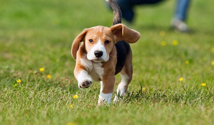 symptoms of dehydration in dogs Weak Hind Legs