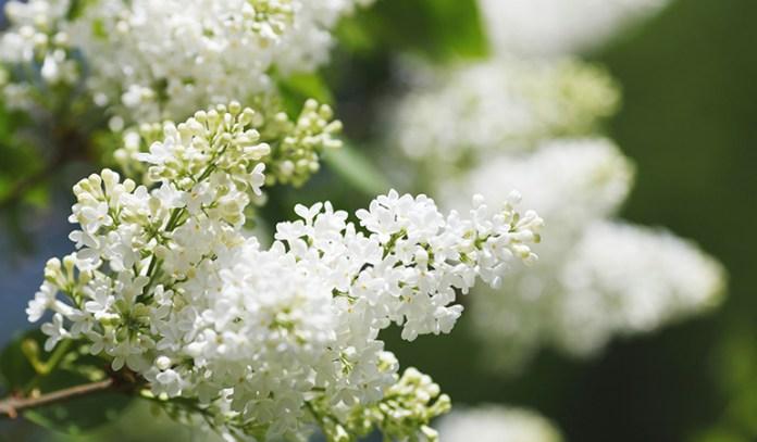 anti-scorbutic properties of  lilac helps to treat scurvy