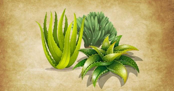 Different type of aloe vera plants