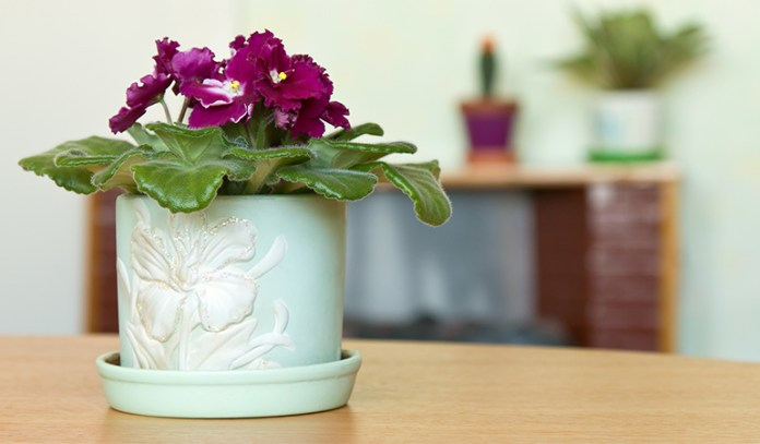 african violet's leaves collect dust