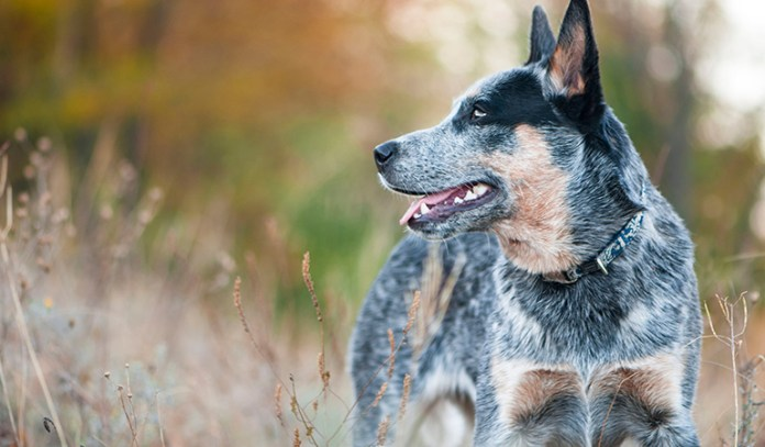 healthy dog: Australian Cattle Dog