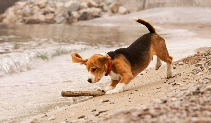 healthy dogs: beagles
