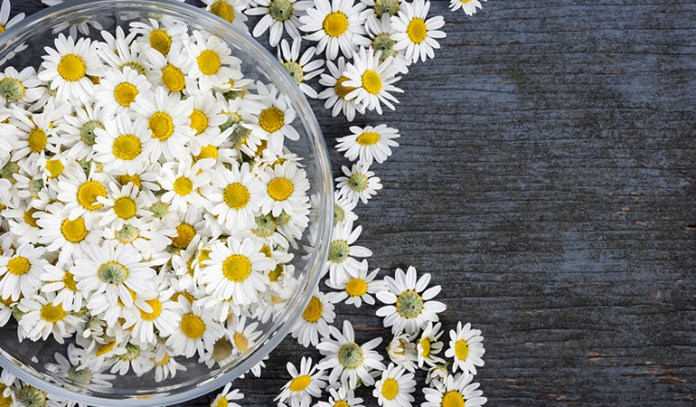 chamomile pollen can cause allergy