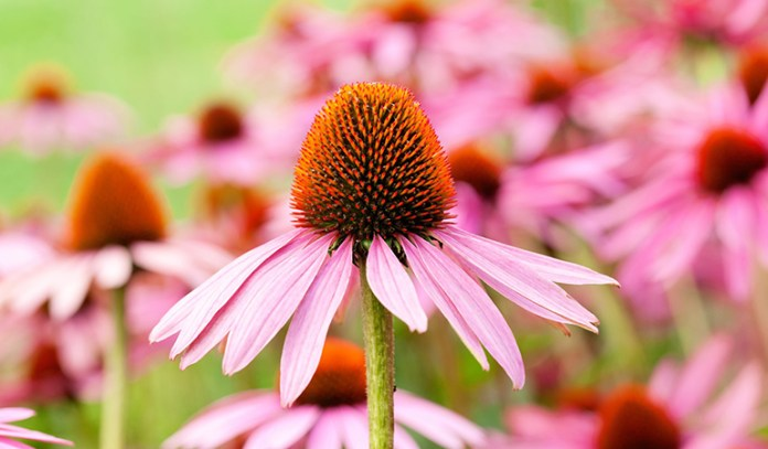 echinacea can treat a sore throat