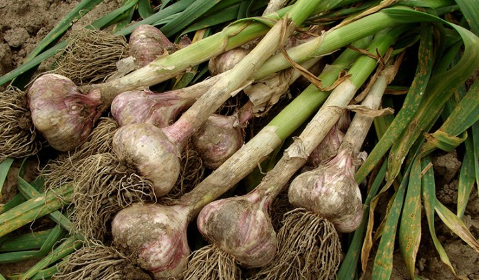 garlic is a wonder herb that's great for health