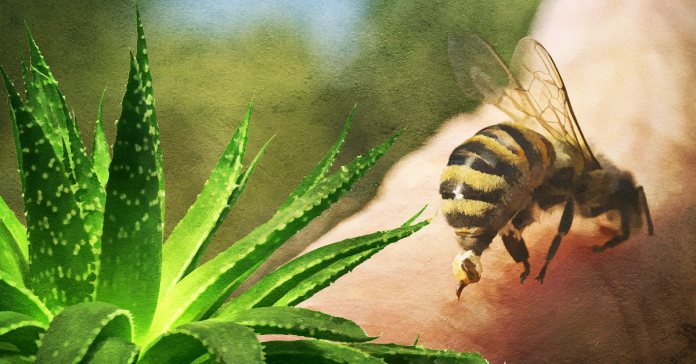 home remedies for honey bee stings