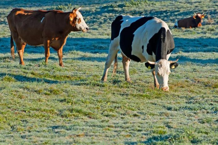 Grass-Fed Beef Is Rich In Vitamin A, E, And Omega-3 Fats