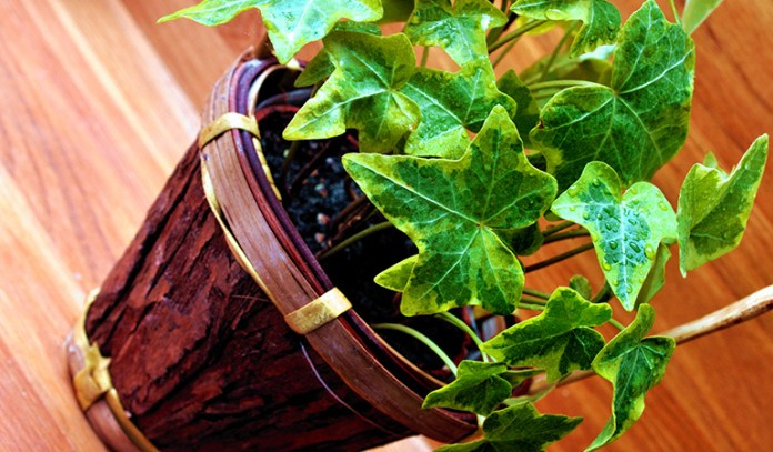 ivy can cause respiratory and skin allergies