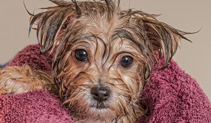 Povidone Iodine In Footbaths Can Treat Itchy Paws