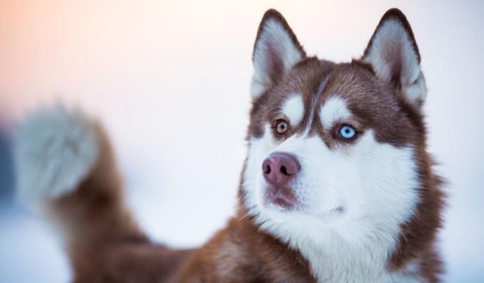healthy dog: siberian husky