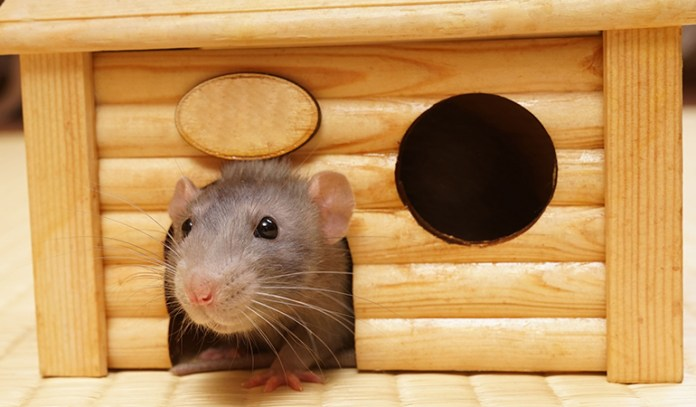 Reasons Why Rats Make Great Pets They Are Low Maintenance