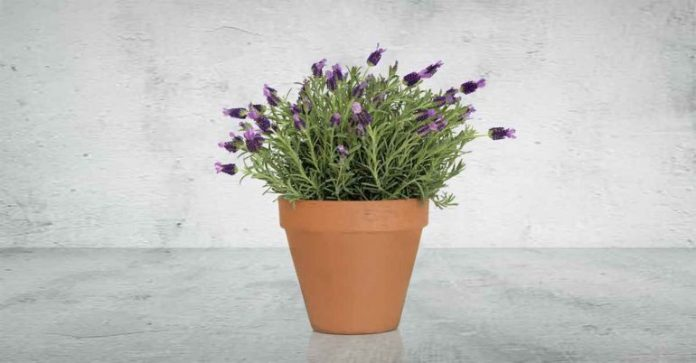 lavender plant to help you sleep better