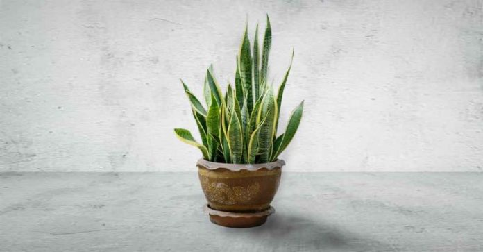 snake plant to help you sleep better