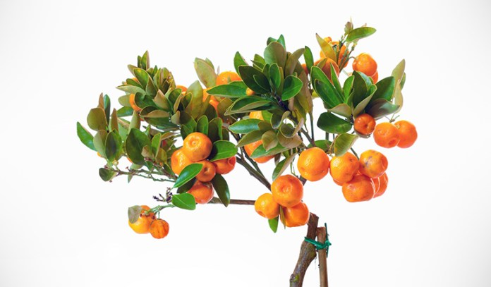 Any citrus fruit can be grown at home
