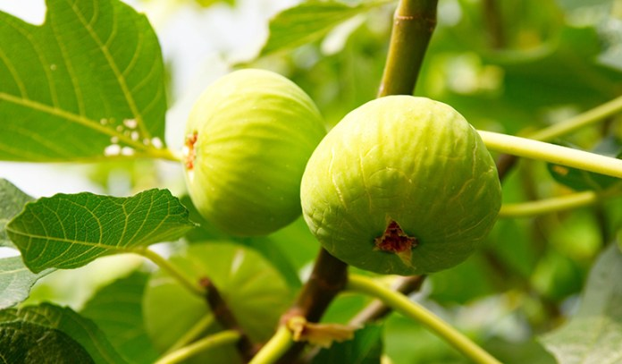 Figs are easy to grow at home