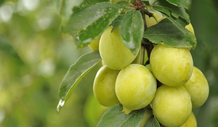 Plum trees can be grown at home