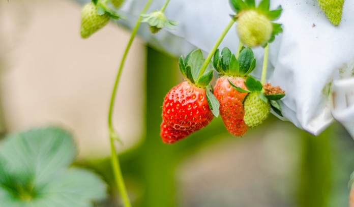 Strawberries can be grown at home