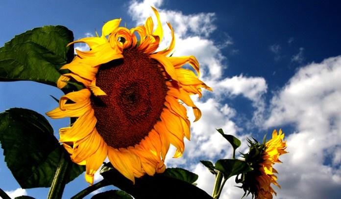 Sunflowers grow tall easily.