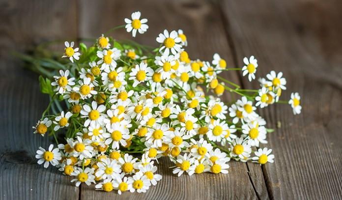 This herb is traditionally used to treat migraines.