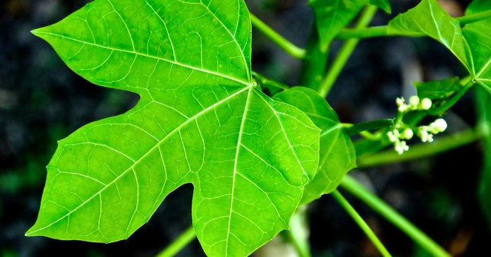 The Health Benefits Of Chaya Leaves