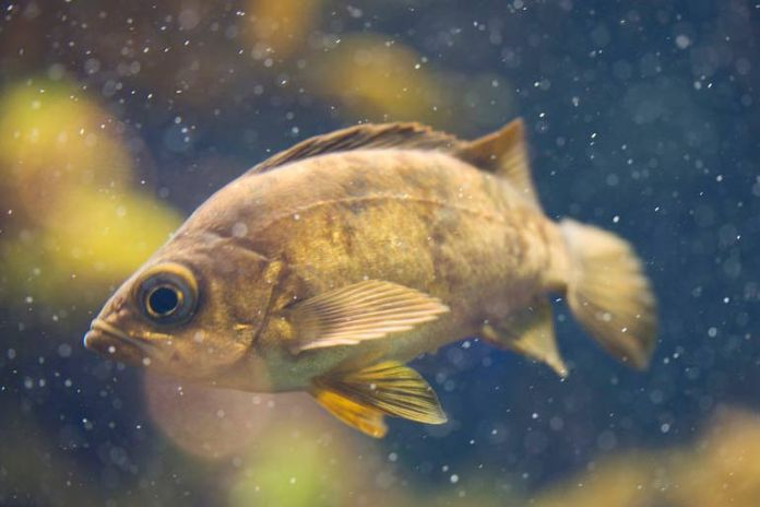 The rockfish is highly nutritious