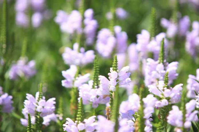 Skullcap helps to reduce sleep issues