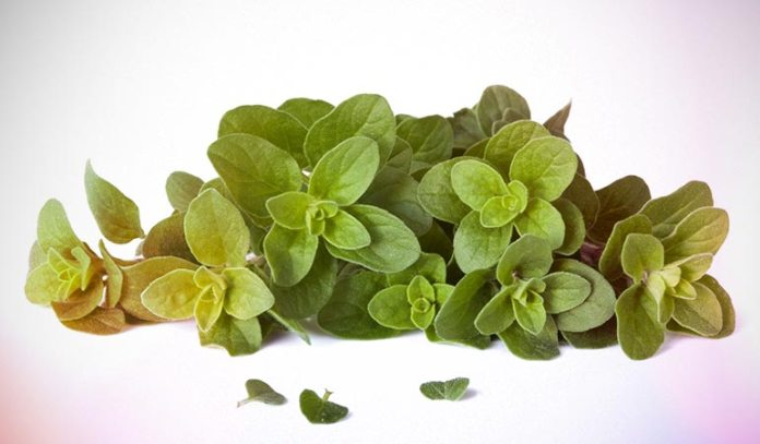 Oregano leaves are full of antioxidants and other health benefits