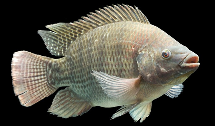 Species of fish most popular for harboring cyanotoxins include shellfish and tilapia (freshwater fishes)