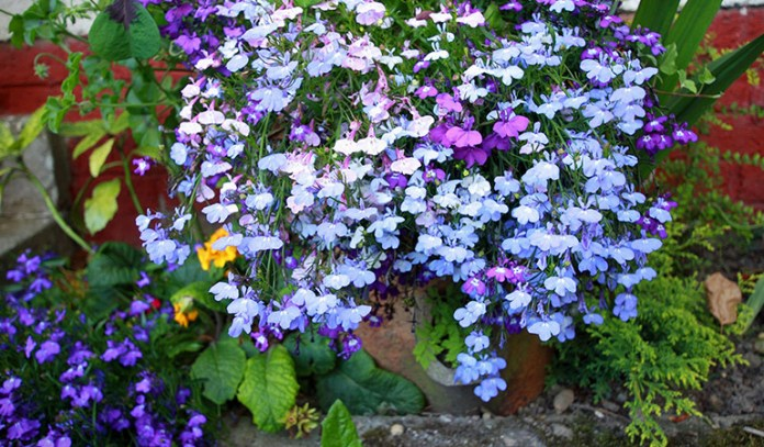 Lobelia is used in supplements that help reduce respiratory problems