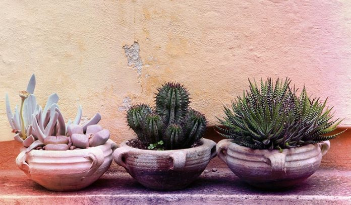 It is next to impossible to kill cacti and other succulents.