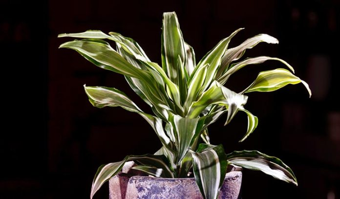 Dracaena adds greenery to malls, apartment blocks, and office spaces.